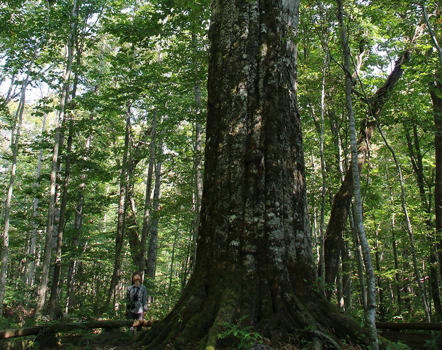 青森県十和田市のブナ巨木「森の神」