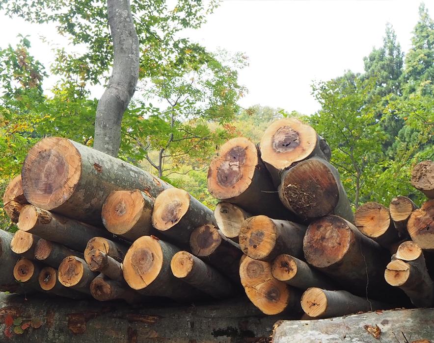 新潟県のブナの幹(これで展示室に森をつくります!)