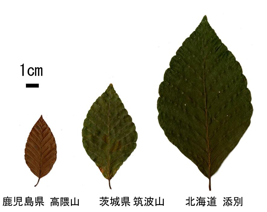 ブナの葉の大きさ比べ