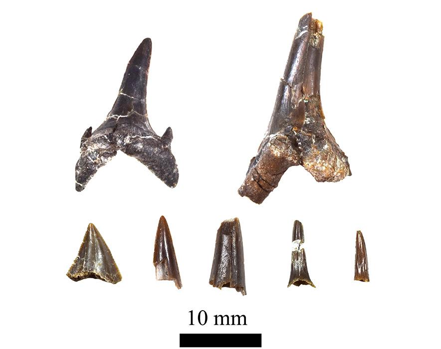 白亜紀のサメの歯化石(ひたちなか市産出)