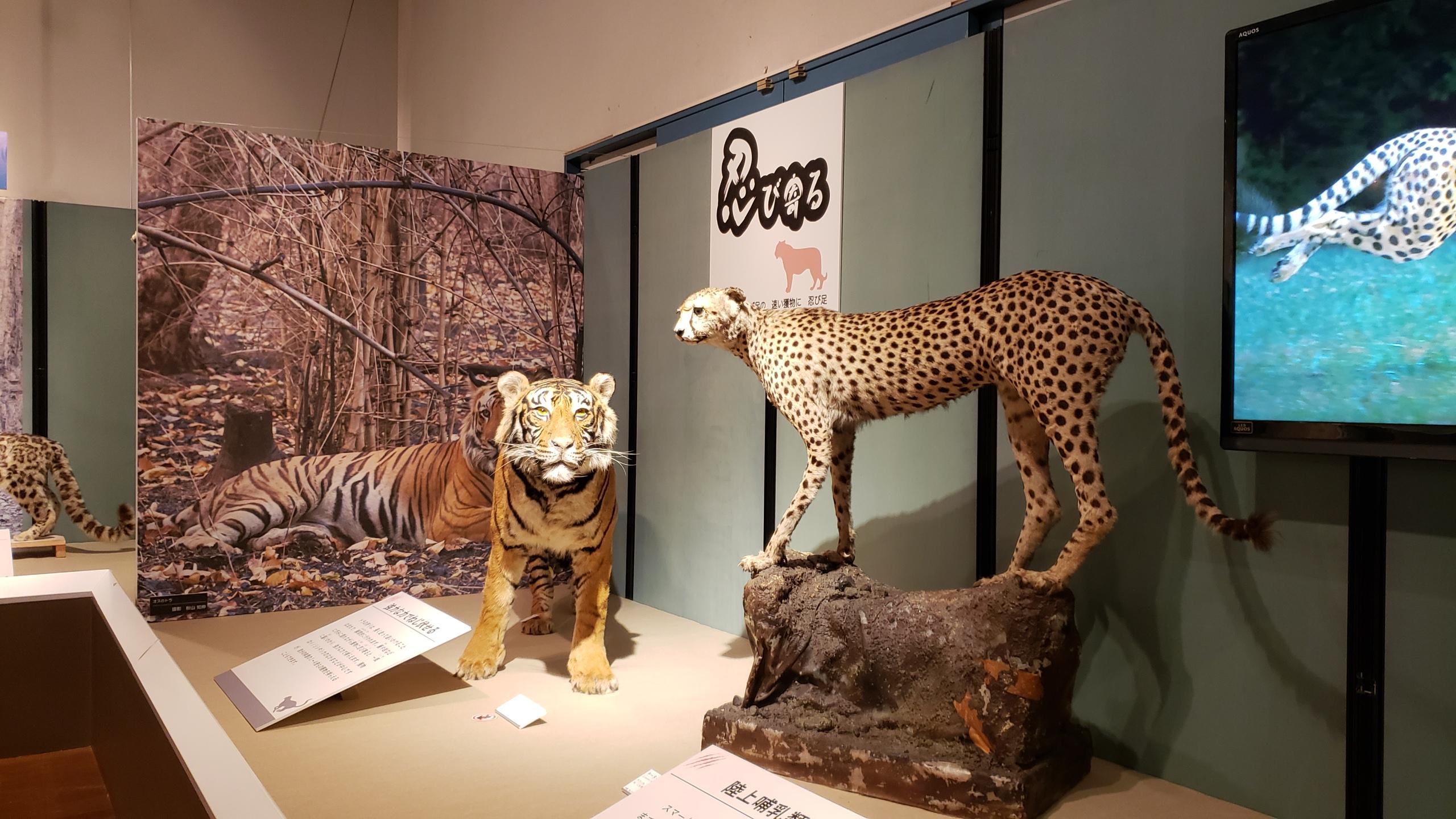 トラとチーター(剥製)