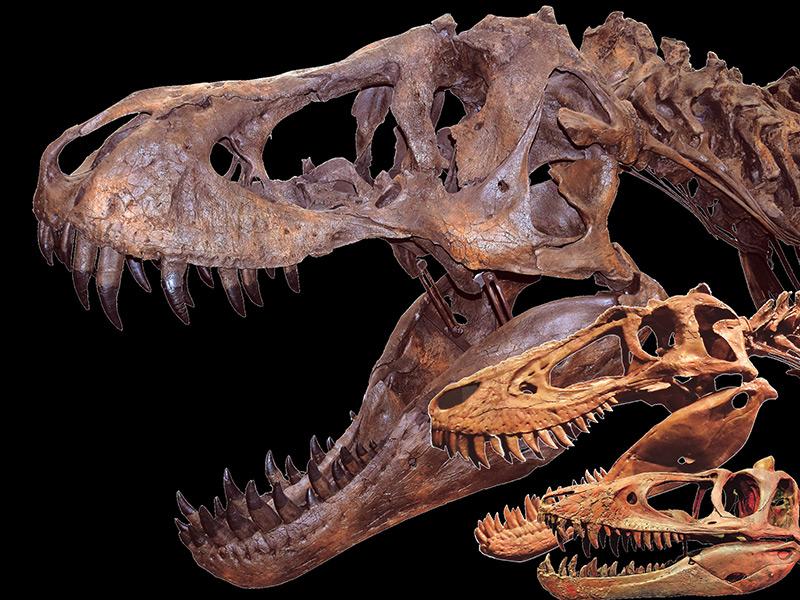 成長段階の異なる3体のティラノサウルス全身骨格(レプリカ)【最年少(LACM 28471)の全身骨格を日本初公開!】