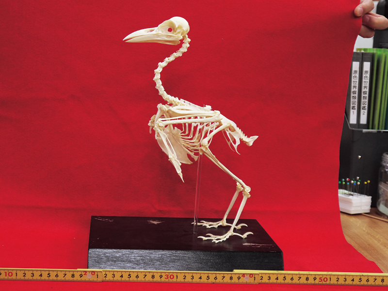 """""""現在を生きる恐竜""""カラスの全身骨格【最新の分類・恐竜から鳥への進化を解説!】"""