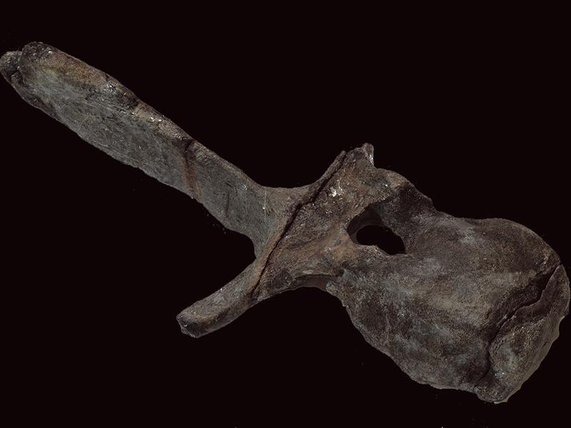 「むかわ竜 脊椎」(実物) 所蔵:むかわ町穂別博物館【日本各地の恐竜化石・恐竜研究を紹介!】