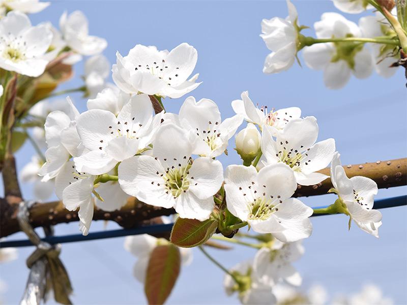 ナシ(新高)の花