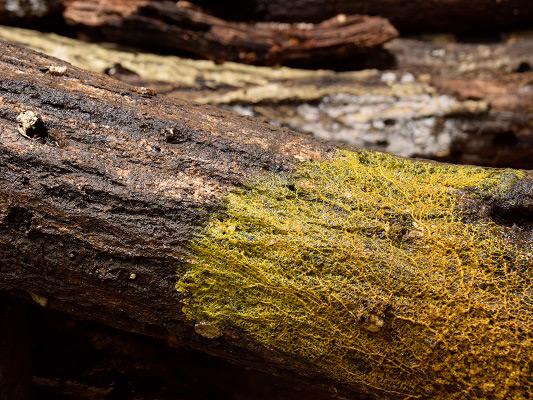 コナラの枯れ木につく変形体