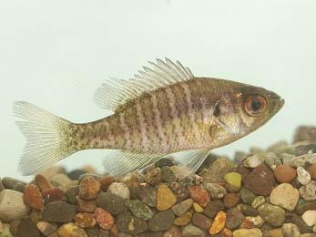 ブルーギルの幼魚
