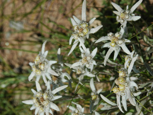 草原に咲くエーデルワイス