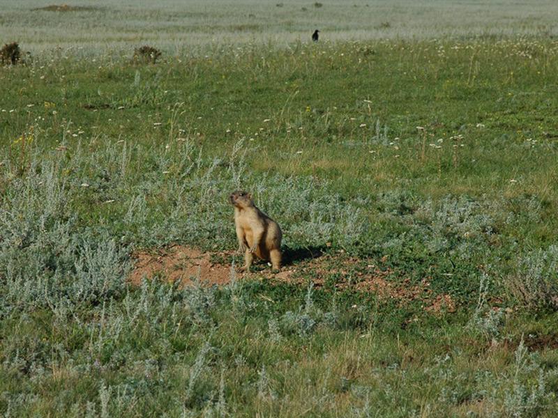 草原の野生動物 タルバガン