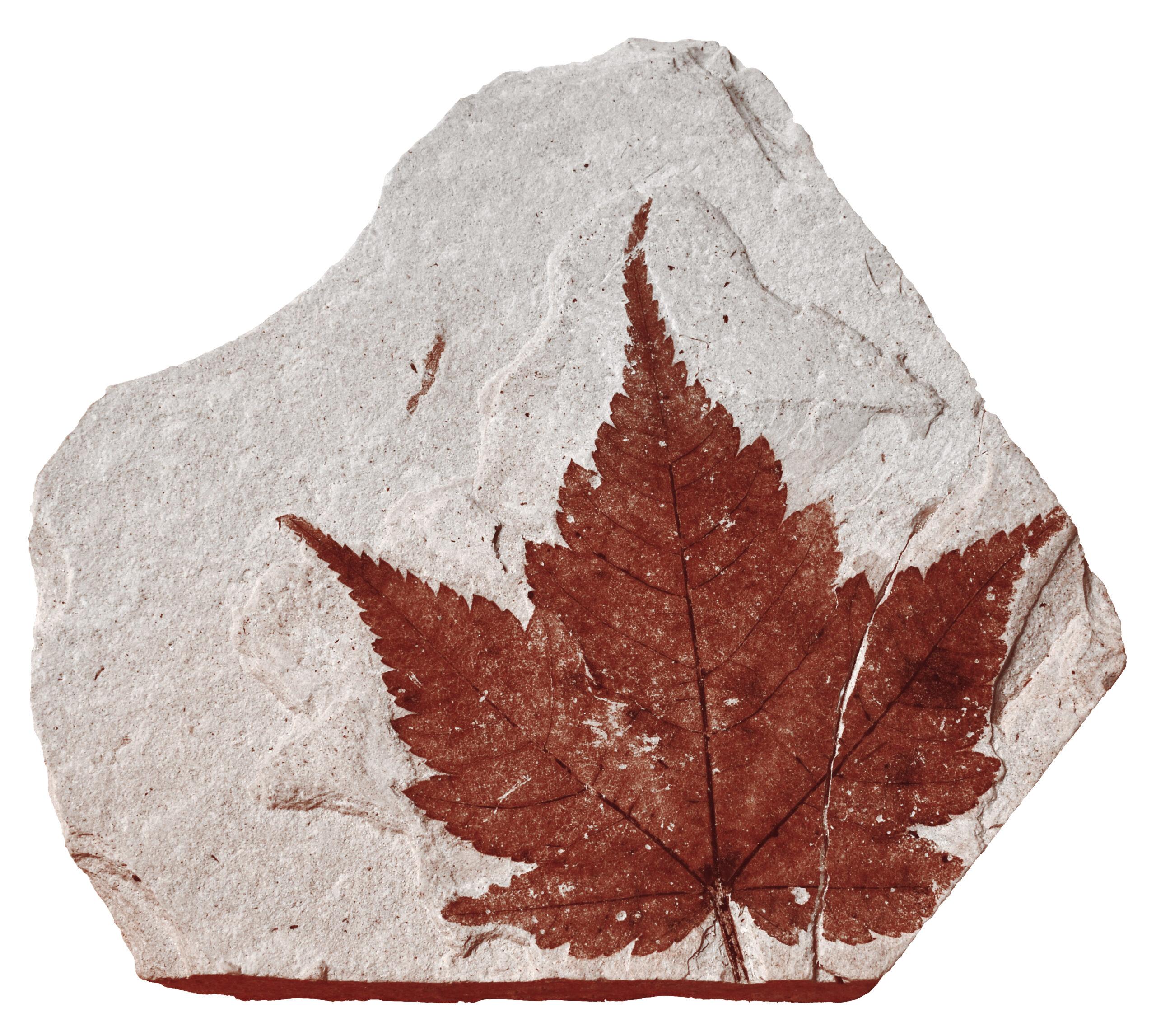 葉の化石(コミネカエデ)